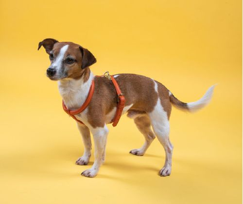 Digby & Fox Rolled Leather Harness - Orange